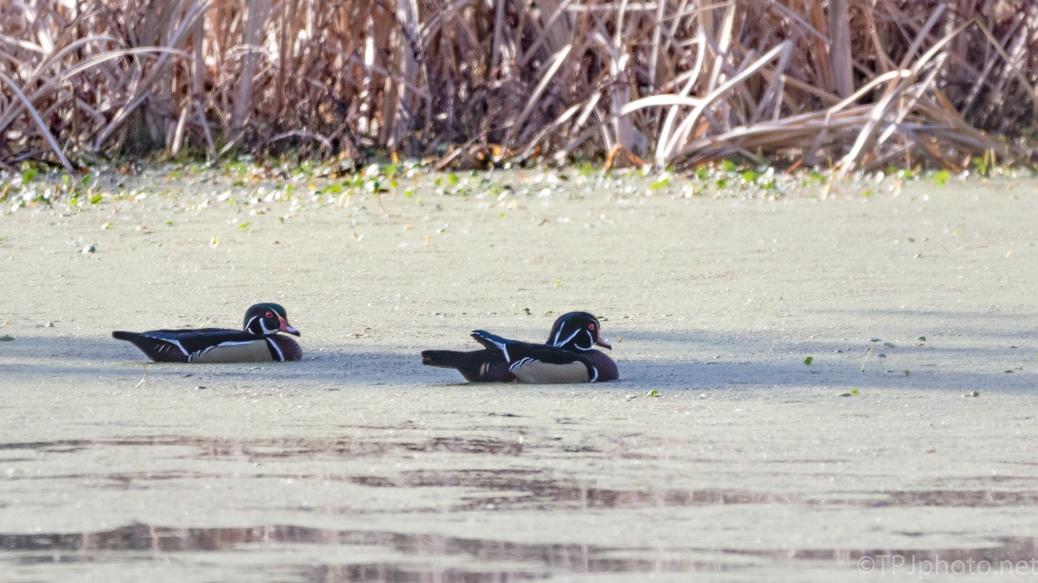 Wood Ducks, Teasing Me - click to enlarge