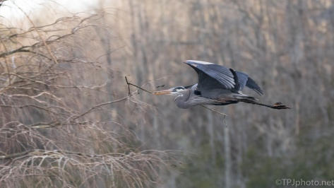 Fast Fly By, Great Blue Heron - click to enlarge
