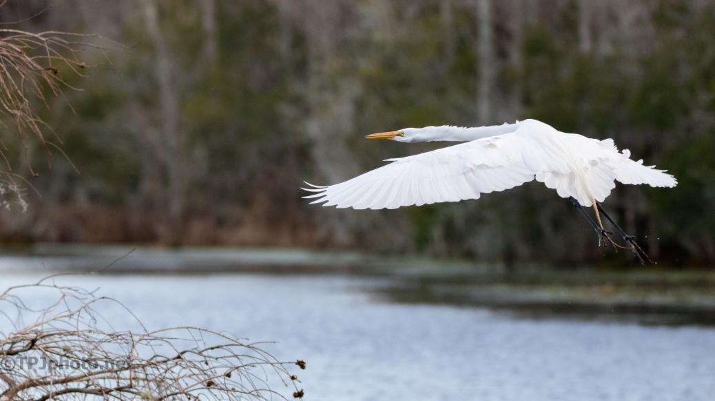 Great Egret Arriving - click to enlarge