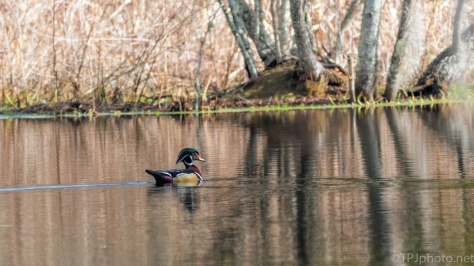 Wood Duck Passing Through - click to enlarge