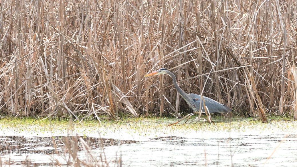 Hunting In The Tall Reeds - click to enlarge