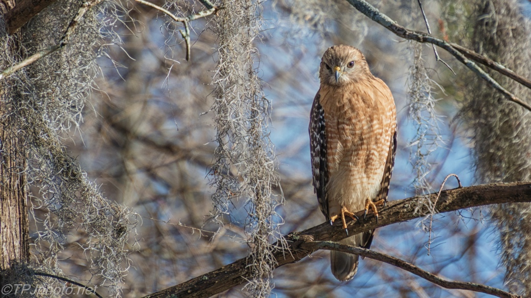 how to say hawk in spanish