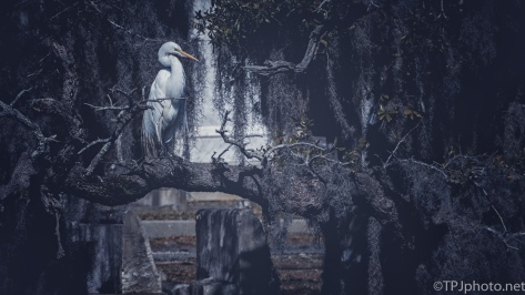 Great Egret Among The Headstones - click to enlarge
