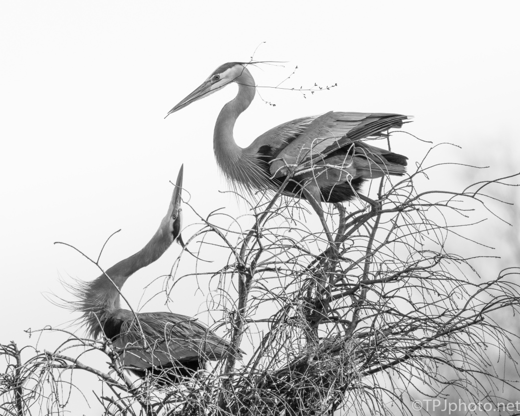 Building A Nest Together, Herons - click to enlarge