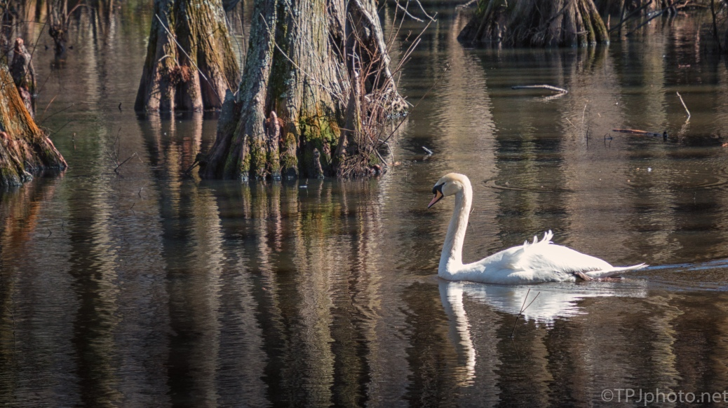Mute Swan, Cypress Swamp - click to enlarge