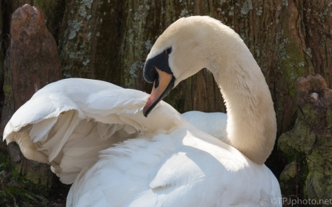 Coy Mute Swan - click to enlarge