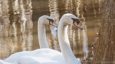 Family Portrait, Swans - click to enlarge