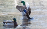 Mallard, Flapping Around - click to enlarge