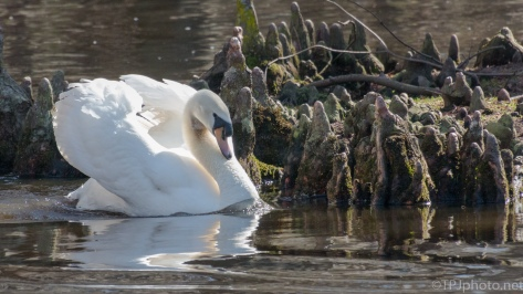 Territory Dispute, Mute Swan - click to enlarge