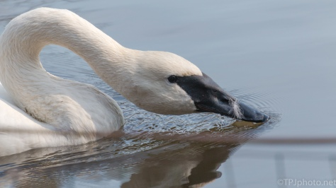 Trumpeter Swan - click to enlarge