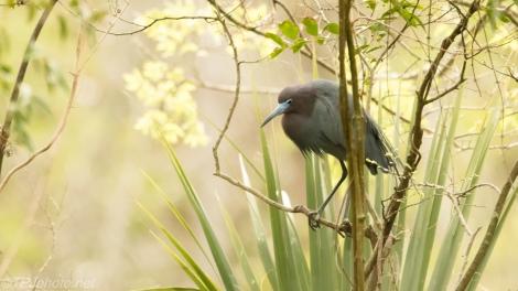 Backlit Little Blue Heron - click to enlarge