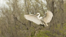 Great Egret Landing By The Nest - click to enlarge