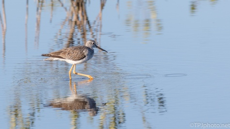 Yellow Legs, In The Shallows - click to enlarge