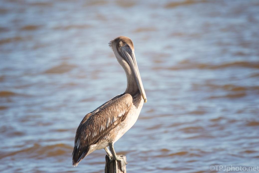 Posing Brown Pelican - click to enlarge