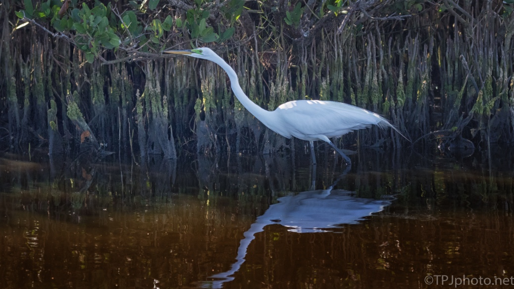 Egret Hunting In The Mangroves - click to enlarge