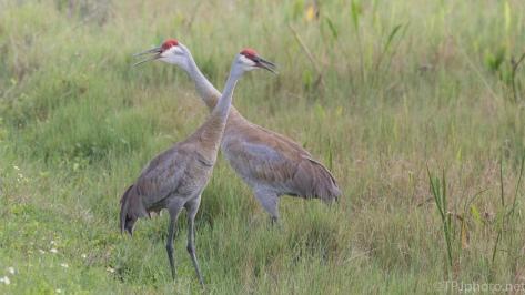Sandhill Crane, Pair - click to enlarge
