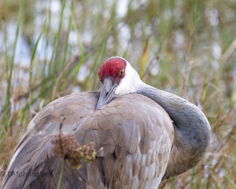 Crane Posing For Me - click to enlarge