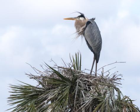 Blue Sky, Blue Heron - click to enlarge