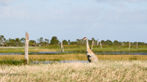 Sandhill Cranes - click to enlarge
