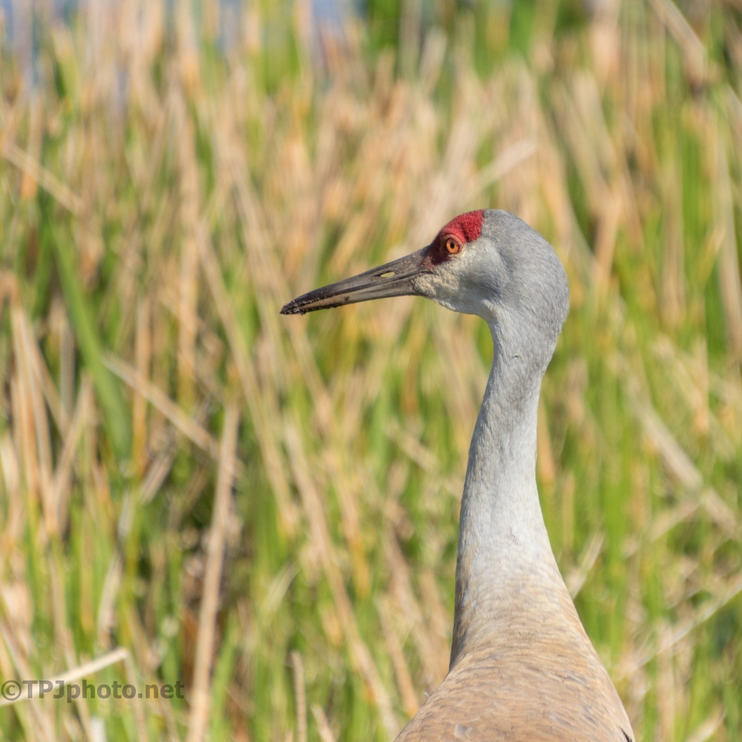 Tamron 18-400 MM, In The Field, Cranes - click to enlarge