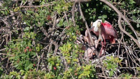 Very Young Spoonbills In A Nest - click to enlarge