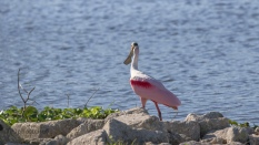 Roseate Spoonbill On A Rocky Shore - click to enlarge