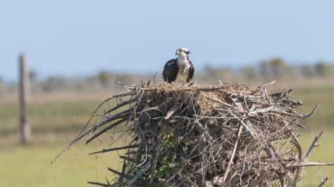 Osprey Nest - click to enlarge