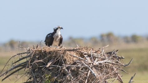 Osprey Nest - click to enlarge