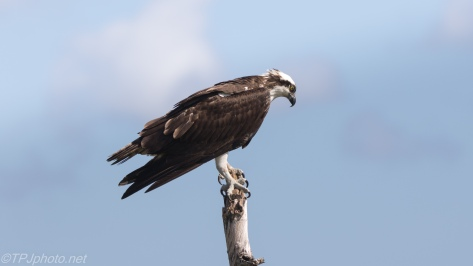 Osprey Perched Over A Marsh - click to enlarge