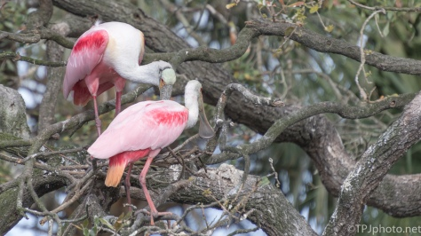 Roseate Spoonbills Building A Nest - click to enlarge