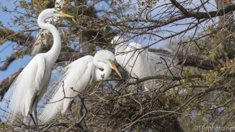 Egret Pair - click to enlarge