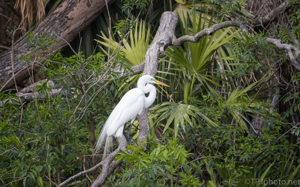 Great Egret In The Palmettos - click to enlarge