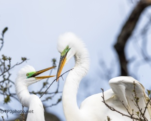 Egrets, Passing The Stick - click to enlarge