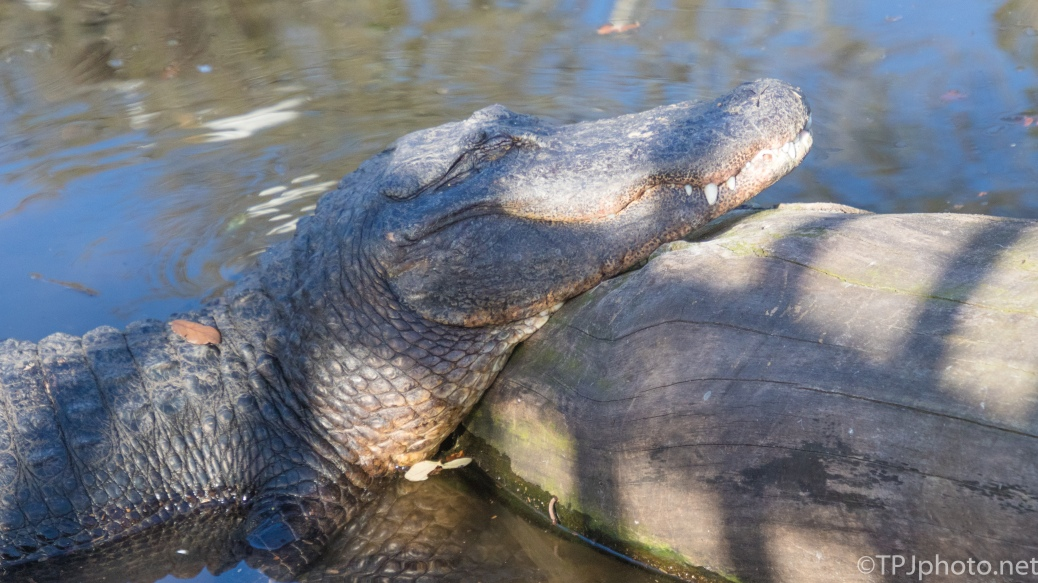 Getting Comfortable, Alligator - click to enlarge