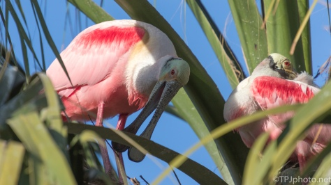 Spoonbill Resting In A Palm Tree - click to enlarge