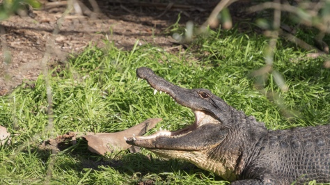 Big Gator Yawn - click to enlarge