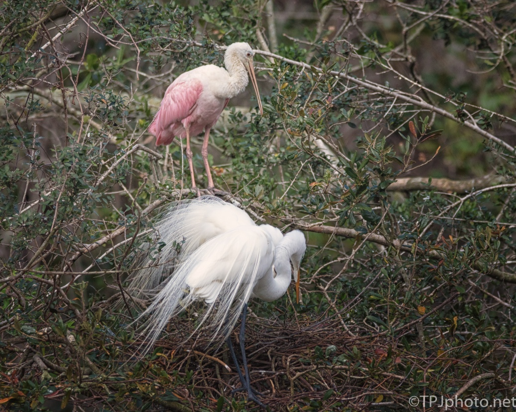 Roseate Spoonbill Watching A Great Egret Nest - click to enlarge