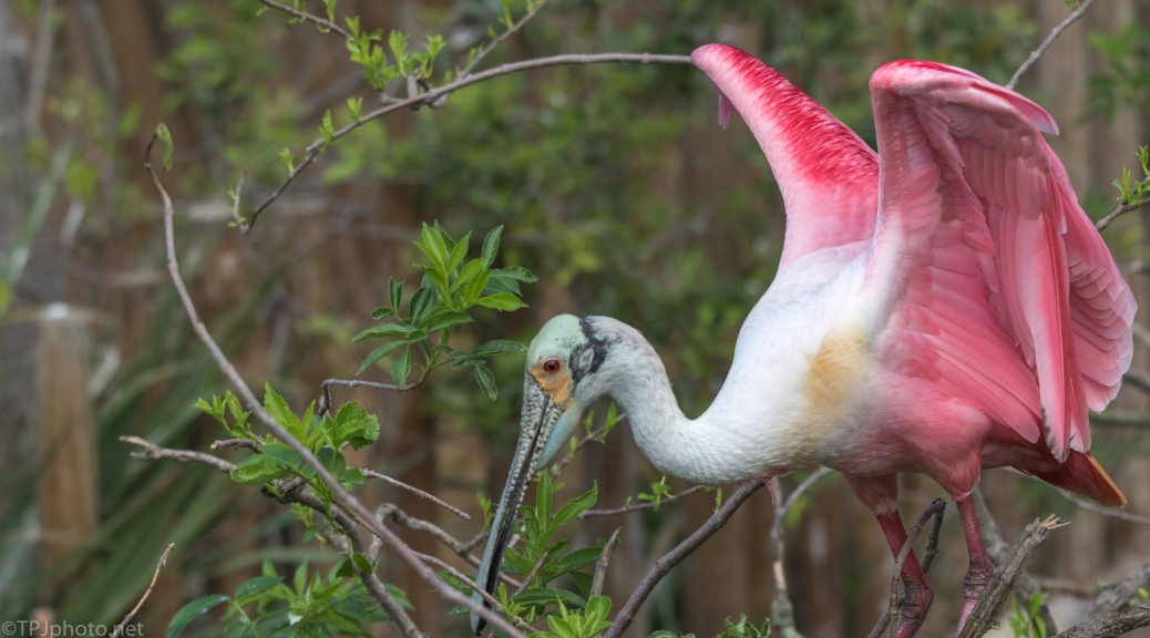 Roseate Spoonbill Gathering Sticks For Nest - click to enlarge
