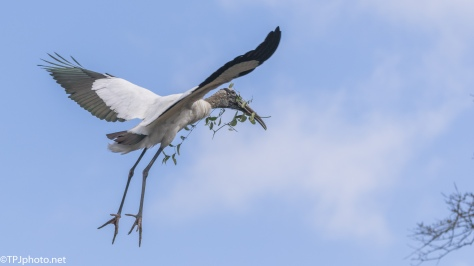 The Big Guy Gathering Sticks, Wood Stork - click to enlarge