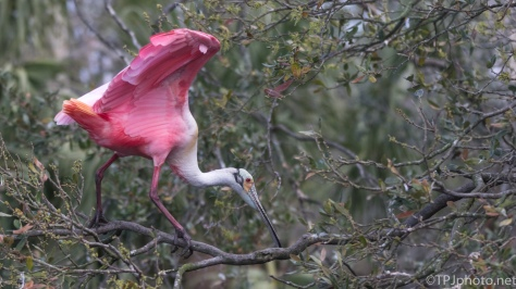 Keeping Balance, Spoonbill - click to enlarge