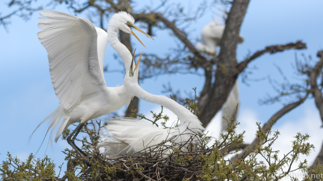Great Egrets On A Nest - click to enlarge