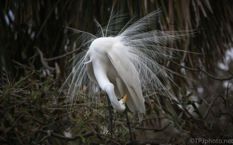 Dancer, Egret - click to enlarge