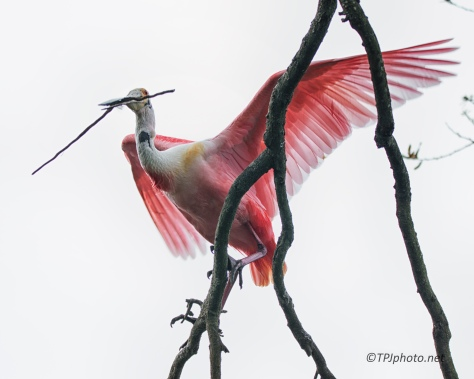 Roseate Spoonbill, Hang On Tight - click to enlarge