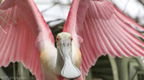 Spoonbill Made Me Blink - click to enlarge