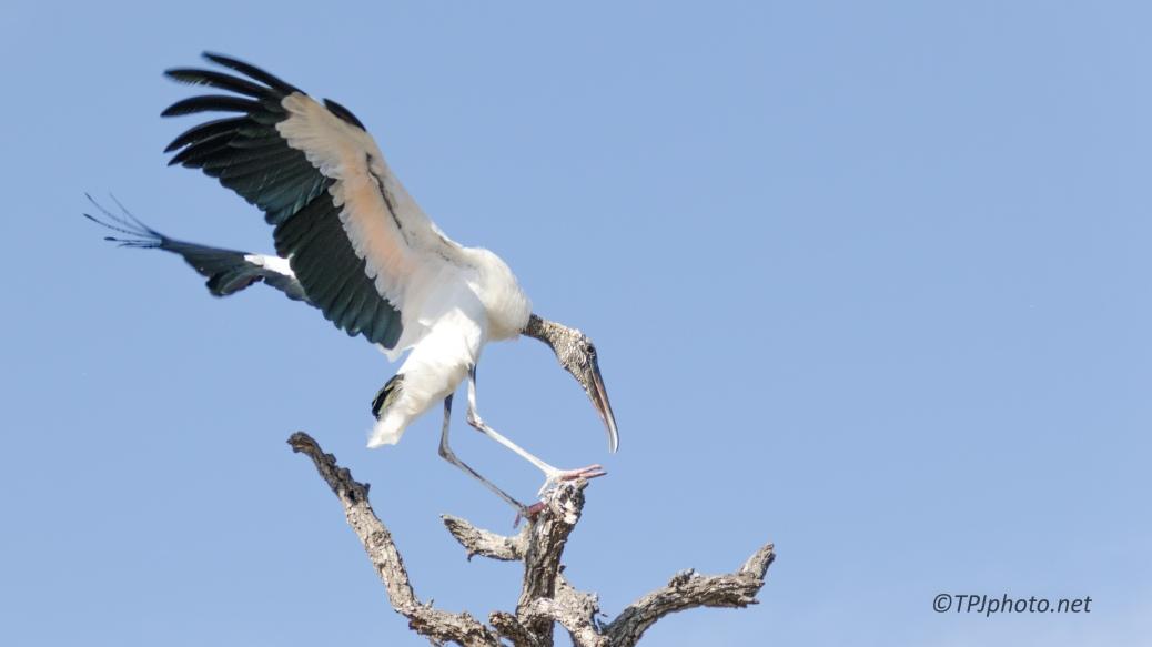 Wood Stork, Tree Top Landing - click to enlarge