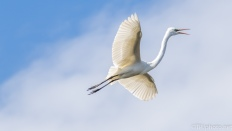 Great Egret, Series Of How A Bird Lands - click to enlarge