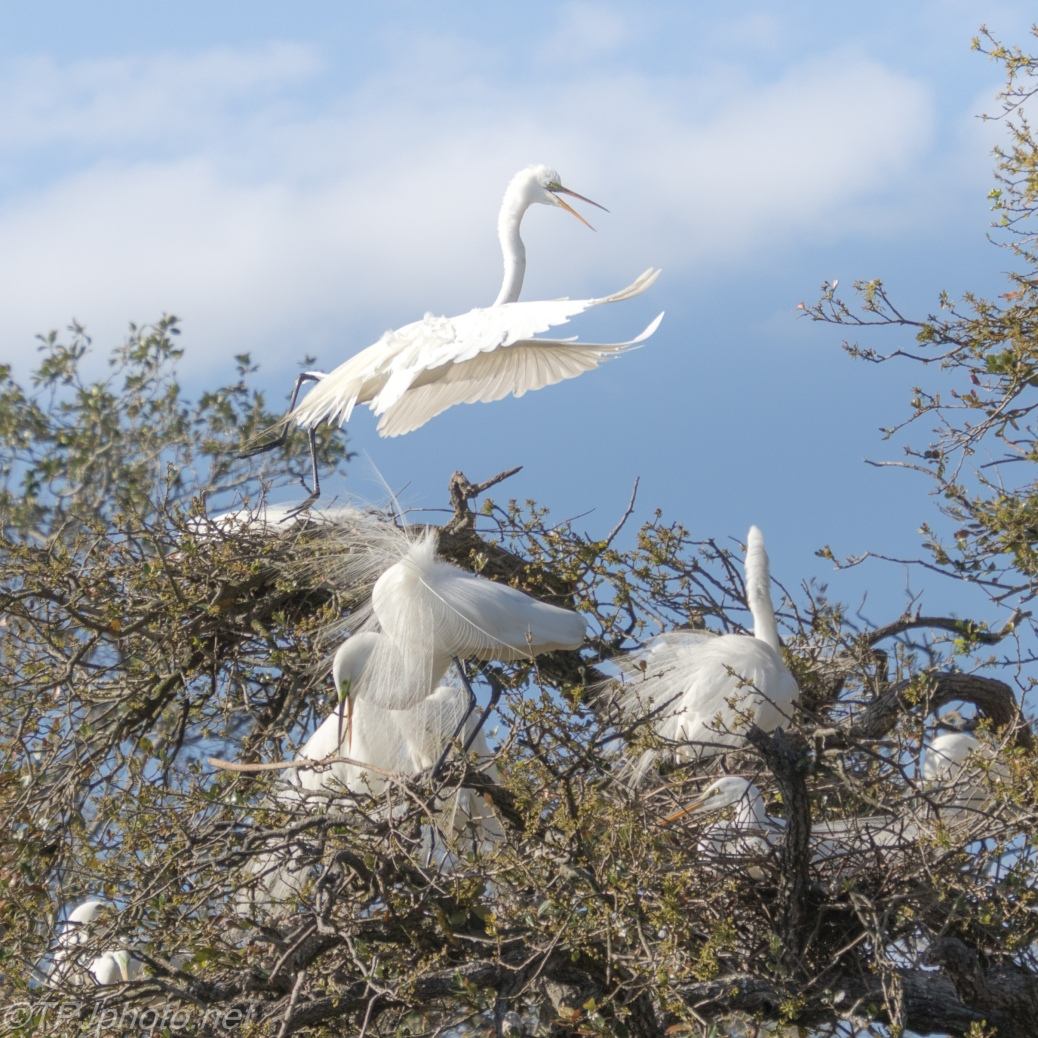 Place Was Getting Crowded, Egrets - click to enlarge