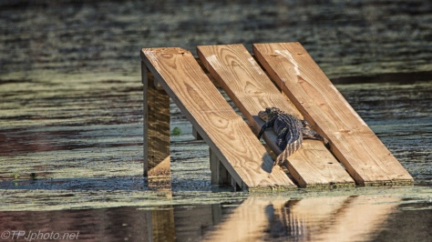Alligators, Little One, Big One - click to enlarge