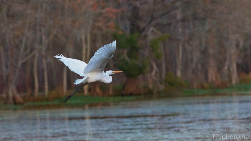 Slow Passing Great Egret - click to enlarge