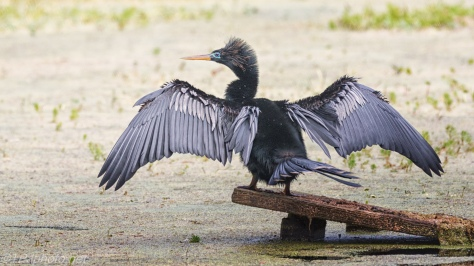 Anhinga, Drying His Wings - click to enlarge